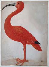 Maria Sibylla Merian, Rode ibis met een ei, illustration naturaliste dont s'est inspirée Ottoline de Vries pour sa collection de papier peint